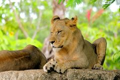 Young lion cub eyes closed Stock Photography