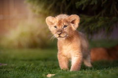 Free Young Lion Cub In The Wild Royalty Free Stock Image - 87294226