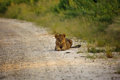 Young lion cub laying on road facing photographer Royalty Free Stock Image