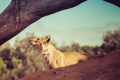 Young lion cub looking up at the sky. Royalty Free Stock Photography