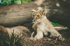 Young lion cub lying under tree trunk. Royalty Free Stock Photo