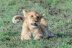 Young lion cub Panthera leo. Royalty Free Stock Photo