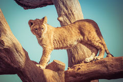 Young lion cub playing up on tree branches. Stock Photography