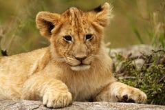 Young lion cub portrait. Taken in the Masai Mara, Kenya Royalty Free Stock Photos