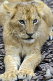 Young lion cub portrait. A lion cub looks sweet Royalty Free Stock Photos