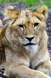 Young lion cub portrait. A lion cub looks sweet Royalty Free Stock Images