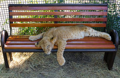 Young lion cub resting Royalty Free Stock Photos