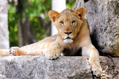 Young lion cub resting. Lion cub lying down on a large rock in Zoo Miami, South Florida Stock Images