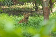 Young lion cub. Shot taken at indore zoo Stock Photos