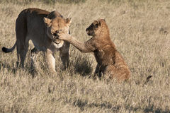 Young Lion Cub Slapping Lioness Royalty Free Stock Photography