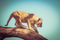 Young lion cub trying to get down from a tree branch. Stock Photo