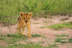 Free Young Lion Cub Walks Over Bare Earth Stock Images - 182721614
