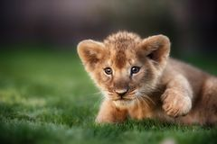 Young lion cub in the wild. And green glass Stock Images
