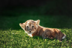 Young lion cub in the wild. And green glass Royalty Free Stock Photos