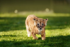 Young lion cub in the wild stock photography