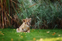 Young lion cub in the wild royalty free stock images
