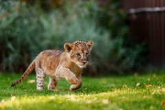 Young lion cub in the wild stock photos