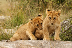 Young lion cubs Stock Photos