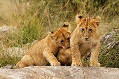 Young lion cubs. Playing in the Masai Mara, Kenya Stock Photos