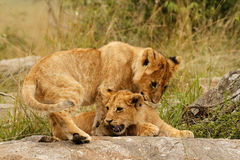 Young lion cubs. Playing in the Masai Mara, Kenya Royalty Free Stock Photo