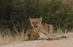 Young lion cubs royalty free stock images