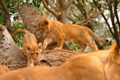 Lion cubs stalking mother. Young lion cubs stalking at Werribee Open Range Zoo Stock Photography