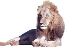 Young lion cutout Stock Photography