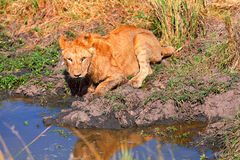 Young lion drinking water, Masai Mara Royalty Free Stock Images