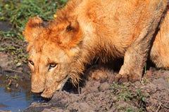 Young lion drinking water, Masai Mara Royalty Free Stock Photos