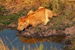 Young lion drinking water, Masai Mara Royalty Free Stock Photography