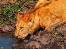 Young lion drinking water, Masai Mara Stock Photography