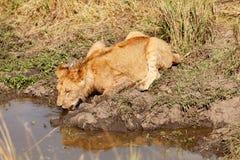 Young lion drinking water, Masai Mara Stock Photos