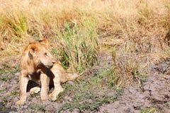 Young lion drinking water, Masai Mara Stock Image