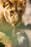 Young lion  eating Stock Photography