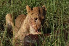 Free Young Lion Enjoying Fresh Hunting. Kidepo Valley National Park Stock Photo - 183993550