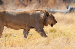 Young lion Stock Images
