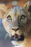 Young Lion Face Stock Photography