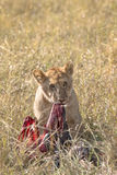 Young lion feasting on wildebeest kill Stock Photo