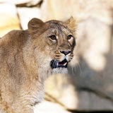 Young lion (female) Royalty Free Stock Photography