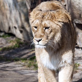 Young lion (female) Stock Images
