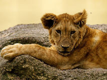 Young lion and fly Royalty Free Stock Photography