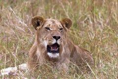Young lion in the grass. Masai mara, Kenya Stock Image