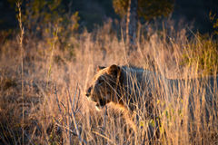 Young lion in grassland Royalty Free Stock Photography