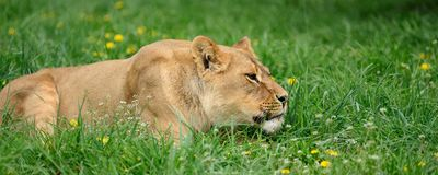 Lion in green grass Royalty Free Stock Image