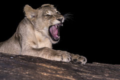 Young lion growling Royalty Free Stock Images