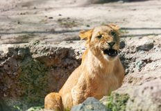Young lion growls nature. Summer day Royalty Free Stock Image