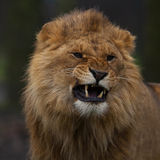 Young lion growls. Stock Images