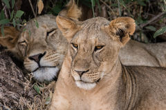 Young lion is guarding his mother Stock Photos