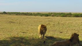 Young lion hunting in savanna at africa stock footage