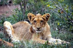 Young Lion in Kruger National Park Royalty Free Stock Images